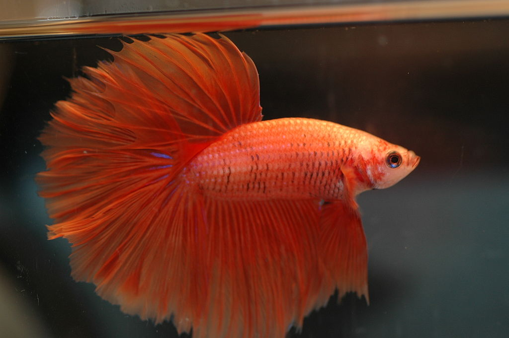 How to Feed a Betta the Best Betta Food • Land of Fish  How to Feed a B...